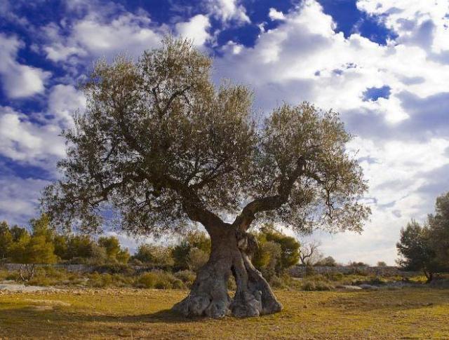 MASLINA ( Olea europea )
