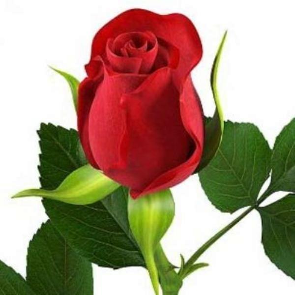 Ruža parfemsko ulje 10ml